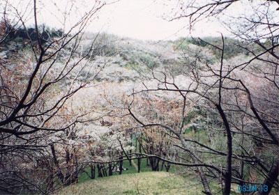 滝山城の5,000本もの桜
