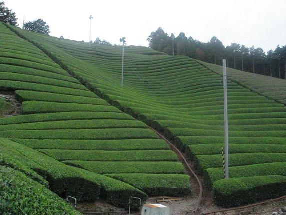 勝間田城茶畑